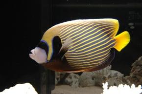 タテジマキンチャクダイの成魚